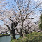 鶴岡公園桜まつり